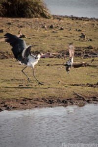 Marabou stork attacking a fishing eagle
