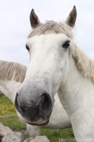 Connemara pony closeup