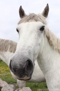 Connemara pony closeup