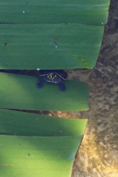 Baby yellow-headed river turtle at Caiman House