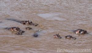 Pod of hippos in the Mara River Kenya