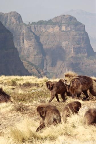 Gelada monkeys grazing in the Simien Mountains