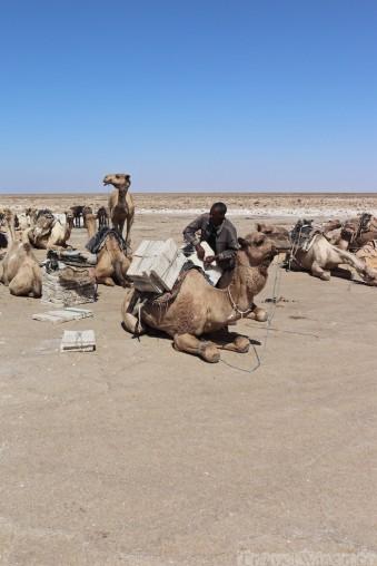 Afar man loading salt on a camel