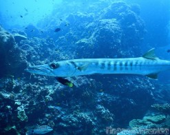 Barracuda, Richelieu Rock Thailand