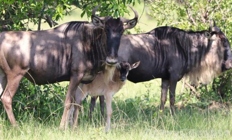 Wildebeest with young calf, Mara North Conservancy Kenya