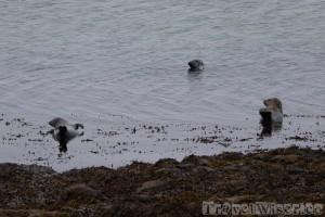 Inishmore seal colony