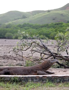 Komodo dragon blocking the path on Rinca island