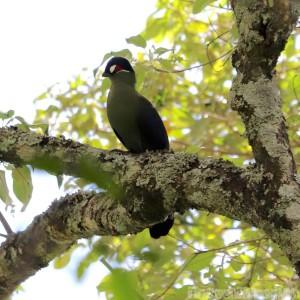 Turaco or go-away-bird, Kitich Kenya