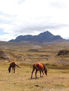 Wild horses in Parque Nacional Cotopaxi Ecuador