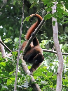 Woolly monkey, Yasuni National Park Ecuador
