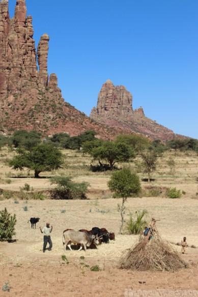 Threshing grain with oxen in Tigray, Ethiopia
