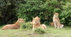 Pride of lions in Mara North Conservancy Kenya