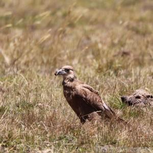Bird of prey, Parque Nacional Cotopaxi Ecuador