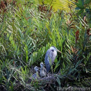 Heron on a nest with chicks, Silhouette Island Seychelles