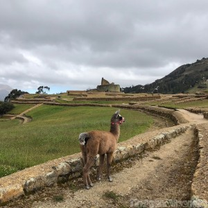 Baby llama at Ingapirca, Ecuador