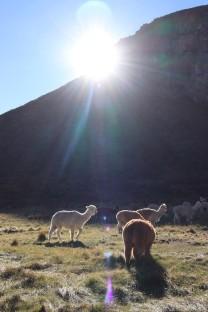 Herd of llamas, Chimborazo Ecuador