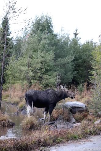 Maine moose near Moosehead Lake