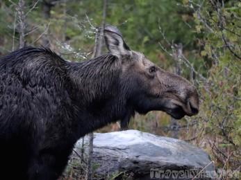 Adult female moose, Maine