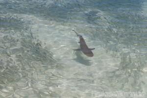 Baby white tip shark, Silhouette Island Seychelles