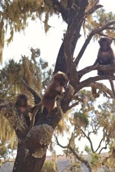 Baby gelada monkeys in a tree
