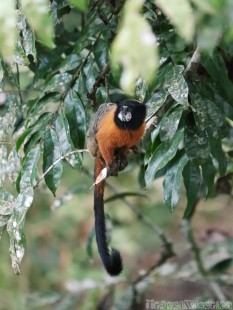 Golden-mantled tamarin monkey, Napo Wildlife Center Ecuador