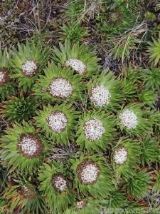 Parque Nacional Cajas flora