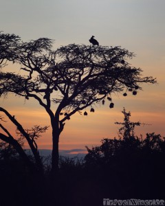 Silhouette of a vulture in a tree at sunset, Kenya