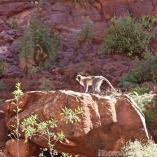 Grivet monkey Ethiopia