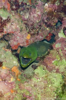 Moray eel, Speyside diving Tobago