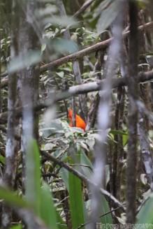 Cock-of-the-rock Kaieteur Falls Guyana