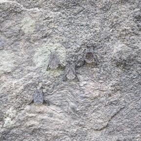 Camouflaged proboscis bats, Guyana