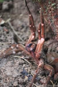 Goliath bird-eating spider, Guyana