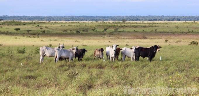 Cattle on Karanambu Lodge Ranch