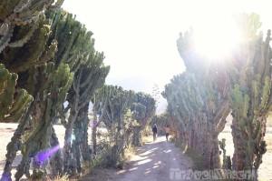 Cactus hedge Tigray Ethiopia