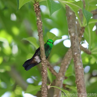 Copper-rumped hummingbird on a branch, Yerette Trinidad