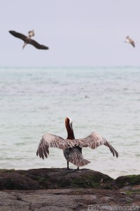 Pelican drying its wings, Galapagos Islands