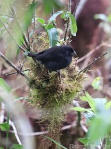 Darwin finch, highlands of Isla Santa Cruz
