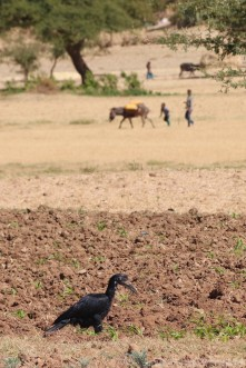 Abyssinian ground hornbill on a field in Tigray