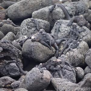 Galapagos marine iguanas on the rocks
