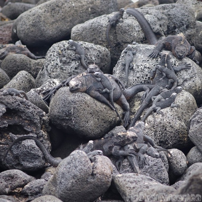 Galapagos marine iguanas on the rocks