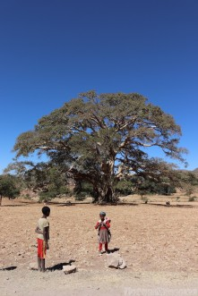 Children by a giant sycamore fig