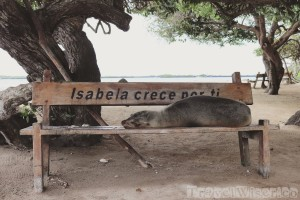 Sea lion sleeping on a bench, Isla Isabela
