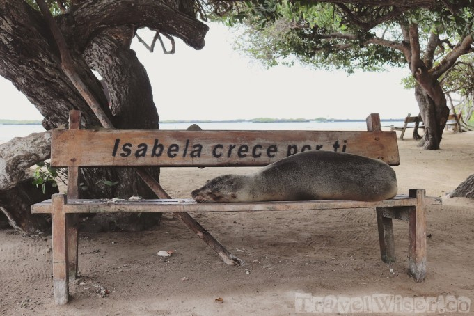 Sea lion sleeping on a bench, Isla Isabela