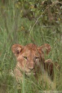 Lion cub hidden in the grass, Kenya