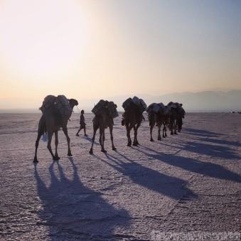 Camel caravan on the Danakil salt flats