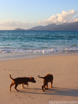 Stary puppies on Anse Soleil beach, Seychelles