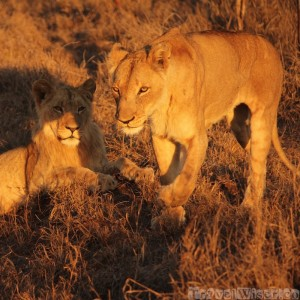Two lions, Hlane Royal National Park Swaziland