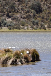 Andean gulls, Laguna Limpiopungo Cotopaxi
