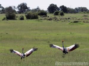 Two grey crowned cranes, Maasai Mara Kenya