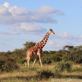 Reticulated giraffe Samburu Special Five Northern Kenya